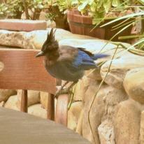 Jays at Cold Spring Tavern (2)