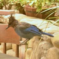 Jays at Cold Spring Tavern (3)
