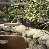 Jays at Cold Spring Tavern (4)