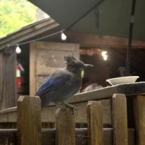 Jays at Cold Spring Tavern (5)