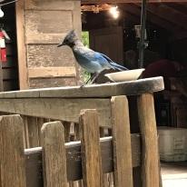 Jays at Cold Spring Tavern (6)