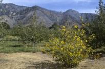 Oak Glen After The El Dorado Fire, part 2 (5)