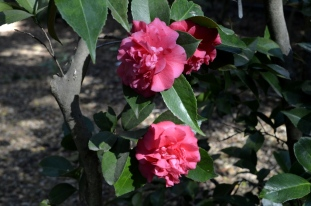 Beautiful camellias