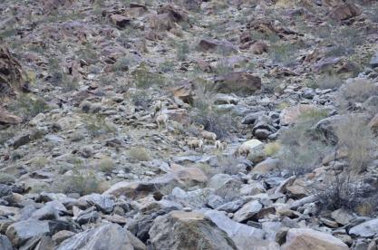 Bighorn Sheep Sighting (1)