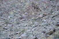 Bighorn Sheep Sighting (2)