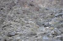 Bighorn Sheep Sighting (3)