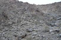 Bighorn Sheep Sighting (5)