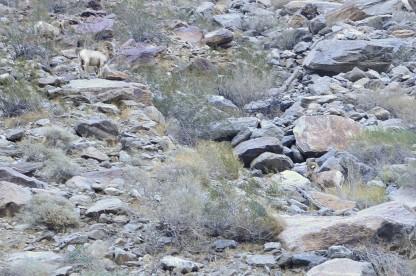Bighorn Sheep Sighting (6)